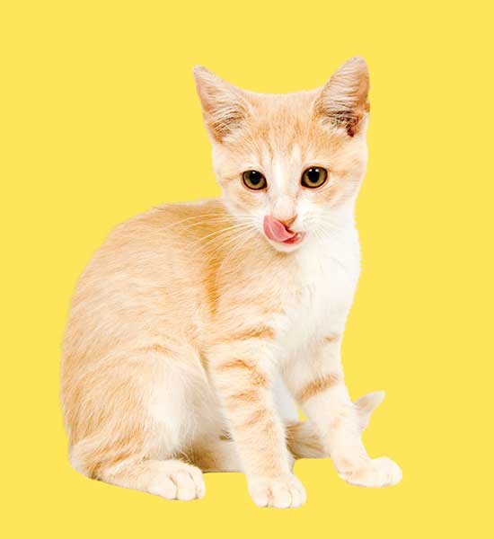Yavru Kedi Mamaları